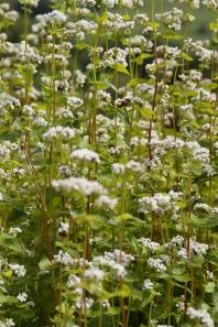 buckwheat-kvetoucí